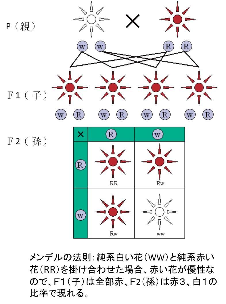 mendel_2_3.jpg